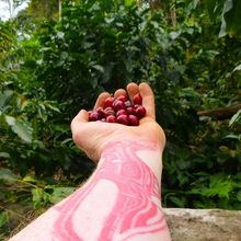 COFFEEUFEEL - NEW SEASON OF BOLIVIAN ! Our new crop of Bolivian Organic 'Monte Verde' has just bean cleared by customs , I will be roasting some tomorrow, 6/10/16 , come...